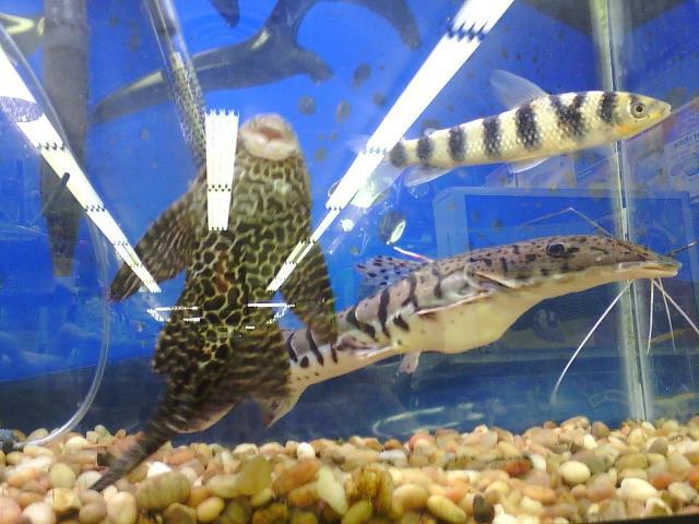 Ainosakana for the love of a fish for Petsmart fish guarantee